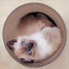 Принцип сиамской кошки