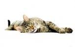 Лежачий серый котяра