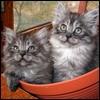 Кошки-двойняшки