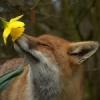 Лиса и цветок