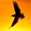 Силуэт чайки на закате