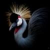 Серый венценосный журавль
